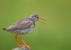 Redshank (Martial2010) Tags: redshank north uist outer hebrides scotland canon