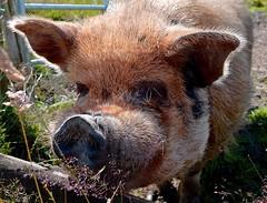 This little piggy...... (rustyruth1959) Tags: nature rural eyes ears snout nose farm outdoor hair teeth animal pig nikkor nikond3200 nikon porcine