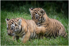 Ernie und Bert (gosammy1971) Tags: amurtiger sibirischertiger natur nature animal tier fell fur 2016 zoo duisburg elroi dasha predator tiger kleintje cub baby puppy weiss white black schwarz orange new flickr august cats katzen