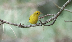 Yellow Warbler (Diane G. Zooms---Mostly Off) Tags: birds yellowwarbler warbler dianegiurcophotography nature artdigital coth