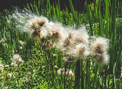 Cotton Look Alike (tannerdouglass2013) Tags: nature nikon nikond7100 pennsylvania pittsburgh natgeo
