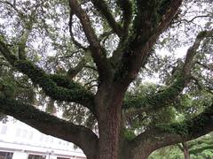 IMG_5774 (halffullpl) Tags: pattylebedhessphotos lsu oak tree oaktree arbor branches louisiana batonrouge closeup