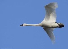 Tundra Swan AU (martinaschneider) Tags: swan tundraswan spring aylmer bird ontario flight flying birds bluesky