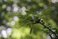 Grn :) mit dem Leitz Elmarit 2.8/90 (Julie s Photo s) Tags: leitz leica elmarit blmchen flower green bokeh bokehlicious