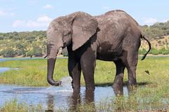 2015_03_17_IMG_9999_142 (cajpeterson) Tags: africa savannah savanna elephant lion hippo mongoose zebra birds