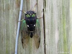 Cicada's Love HFF's. (~~BC's~~Photographs~~) Tags: bcsphotographs canonsx50 cicada hff closeups summer aroundthefarm kentuckyphotos naturephotos insects ourworldinphotosgroup earthwindandfiregroup explorekentucky