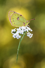 Weiklee-Gelbling  Pale clouded yellow Colias hyale (Bluesfreak) Tags: insekten schmetterlinge tagfalter unterfranken goldeneacht coliashyale butterfly insects palecloudedyellow lepidoptera spessart