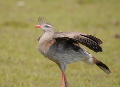 Seriema / Red-legged Seriema (anacm.silva) Tags: seriema redleggedseriema ave bird wild wildlife nature natureza naturaleza birds aves pantanal brasil brazil cariamacristata ngc