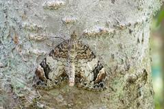 Metsa-kirivaksik; Dysstroma citrata; Dark Marbled Carpet (urmas ojango) Tags: lepidoptera liblikalised insecta putukad insects moth vaksiklased geometridae nationalmothweek metsakirivaksik dysstromacitrata darkmarbledcarpet