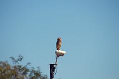 Coruja marota (mauricioguardiano) Tags: owl coruja foz do iguau