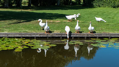 Thirsty geese @ Reeuwijk (PaulHoo) Tags: reflection water lumix summer sun 2016 goose geese gans thirsty animal white green