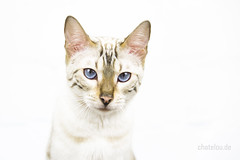 wanda (mwo_w_GERMANY) Tags: bengal bengalkatze snow schnee spotted chat cat