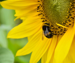 BEE in touch with nature (littlestschnauzer) Tags: sunflower sunflowers bright yellow intense bee macro bees pollination pollen august 2016 summer flowering insects winged uk yorkshire cawthorne maize maze pretty nature wildlife nikon d7200 busy