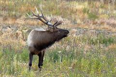 Elk, Male (brian.bemmels) Tags: elk wapiti cervuscanadensis cervus canadensis yellowstone national park yellowstonenationalpark male bull