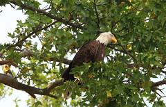 Resident bald eagle - Mt. Loretto Unique Area, Staten Island, New York (superpugger) Tags: statenislandbaldeagles bald eagles baldeagles newyorkcitywildlife lawrencepugliares lpugliares