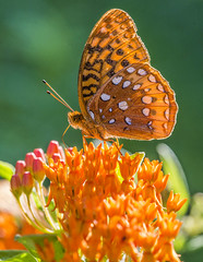 Great Spangled Fritillary (Bernie Kasper) Tags: art berniekasper butterfly butterflyweed plant wildflower wildflowers greatspangledfritillary insect insects nature nikon naturephotography madisonindiana macro new outdoors outdoor old orange vacation vivid flower floral flowers bloom wings eyes