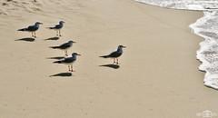 Seagulls - Marina Beach, Dubai, UAE (kadryskory) Tags: kadryskory dubai marinabeach sand beach birds seagulls water sea coastline animal uae