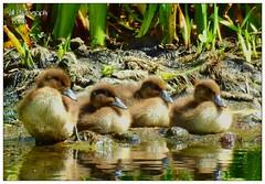 baby goldeneye ducks (shillphotography001) Tags: baby ducks goldeneye water