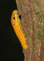 Spicebush Swallowtail, caterpillar (Papilio troilus) (AllHarts) Tags: spicebushswallowtailcaterpillarpapiliotroilus spac hollyspringsms naturesspirit thesunshinegroup naturescarousel