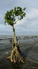 Refusing to die (Shadman A.J.) Tags: kuakata 2016 beach tree sunrise pentax fujifilm x20