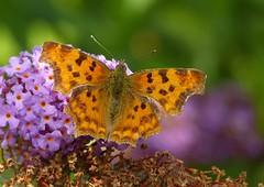 Comma - Polygonia c-album - Gehakkelde aurelia (joeke pieters) Tags: 1280642 panasonicdmcfz150 polygoniacalbum gehakkeldeaurelia comma cfalter robertlediable vlinder butterfly schmetterling papillon insect ngc npc platinumheartaward