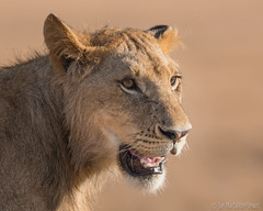 Young male (Sue MacCallum-Stewart) Tags: kenya lion maasaimara young male africa wildlife bigcat cat portrait