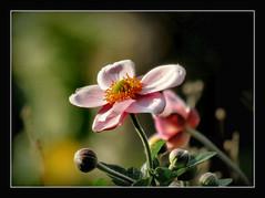 Friday's Flower Power (karin_b1966) Tags: blume flower blte blossom pflanze plant garten garden natur nature 2016 anemone yourbestoftoday