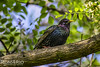 European Starling (Rom4rio Photography) Tags: nikon nikkor natura nature d3100 color allaperto europeanstarling nikond3100 outdoor starling graur bird animale uccello pasăre passero amatore amateur storno