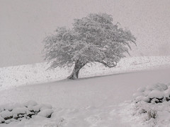 Lonely Snowy Tree (Craig Hannah) Tags: tree snow blizzard free saddleworth pennine drystonewall alphin fields westriding dovestones craighannah 2016 march yorkshire oldham greatermanchester england uk storm walk