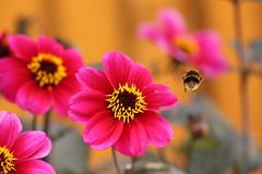 Flowers & Bees (Kraf T Photography) Tags: flower dahlia colour color colors colours pollen pollenation canon 700d canon700d photography nature pink yellow bee