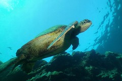 Keep looking up! (BarryFackler) Tags: animal wildlife creature nature biology organism sealife marine seaturtle greenseaturtle marinereptile cheloniamydas turtle honu reptile hawaiiangreenseaturtle cmydas vertebrate marinelife honaunau pacificocean water aquatic sea saltwater diver sealifecamera 2016 bigisland kona hawaii scuba island coralreef underwater barronfackler ecology fauna seacreature marinebiology hawaiidiving pacific ocean tropical westhawaii ecosystem reef undersea outdoor polynesia marineecology being southkona coral zoology konadiving bay dive sandwichislands honaunaubay marineecosystem hawaiicounty hawaiiisland barryfackler bigislanddiving hawaiianislands
