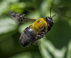 Bee_SAF7334-2 (sara97) Tags: missouri bee copyright2016saraannefinke flyinginsect insect nature outdoors photobysaraannefinke pollinator saintlouis towergerovepark