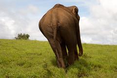 movimiento sensual (Chiara Abbate) Tags: cambodia walking kampong cham mondulkiri elephant sanctuary project save elefant jungle extincion dangerous love big five sexi back chiara abbate chiarabbate