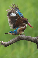 White-throated Kingfisher () (Another Photograph) Tags: whitethroated kingfisher