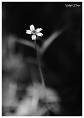 New Life! (Satyam Desai) Tags: life new blackandwhite india flower monochrome photography petals satyam gujarat desai valsad