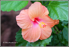 2728 - hibiscus (chandrasekaran a 34 lakhs views Thanks to all) Tags: flowers india macro nature hibiscus chennai tamron90mm canon60d