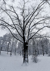 tree  winter (dou axe) Tags: winter white black tree alb copac iarna arbore negru seara