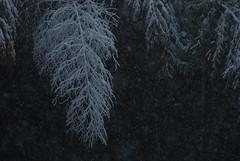 (hiha+) Tags: snow bamboo 雪 竹 竹林 初雪