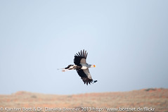 "Secretary Bird in th Air • <a style=""font-size:0.8em;"" href=""http://www.flickr.com/photos/56545707@N05/8380886055/"" target=""_blank"">View on Flickr</a>"