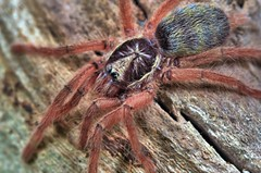 "Holothele incei ""gold"", 0.75-inch sling (_papilio) Tags: macro spider nikon arachnid tarantula sling nikkor invertebrate papilio arthropod theraphosidae specinsect d7000 holotheleincei holothele incei nikon105mmf28afsvrmicronikkor"