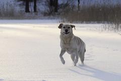 Jll on hyv baanata (smerikal) Tags: winter snow ice labrador running run retriever lumi talvi j emmi labradorinnoutaja labbis juosta juoksee