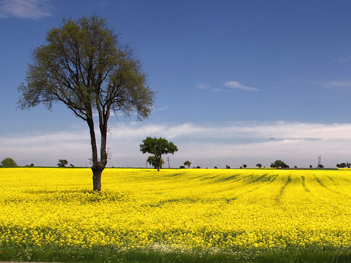 Amarillo Colza