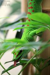 Gecko Tounge