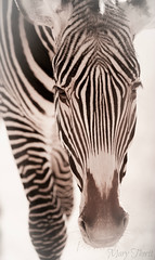 Zebra Beauty (metherit) Tags: wild nature closeup canon zoo colorado stripes pueblo scenic vivid 300mm 7d coloradosprings co canoneos1dsmarkii metherit allofnatureswildlifelevel1 allofnatureswildlifelevel2