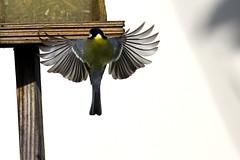 Atterrissage - Landing (CGilles7) Tags: winter bird nature hiver oiseau msange naturesfinest msangettenoire gilles7