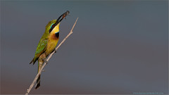 Little Bee-eater (Raymond J Barlow) Tags: africa green bird art tanzania wildlife adventure tours avian workshops 200400vr allnaturallight nikond300 raymondbarlowtours