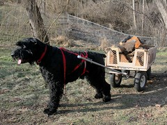 Giant Schnauzer pulling firewood