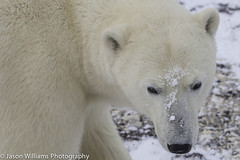 "Polar Bear in Churchill, Manitoba • <a style=""font-size:0.8em;"" href=""http://www.flickr.com/photos/92120860@N06/8453682507/"" target=""_blank"">View on Flickr</a>"