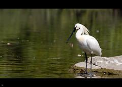 Spoonbill Stork (Platalea leucorodia) (Dobi.) Tags: india birds nikon birding storks ranganathittu openbill d90 2013