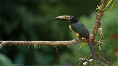Collared Aracari (Raymond J Barlow) Tags: travel red bird nature nikon costarica wildlife adventure d800 200400vr raymondbarlowtours